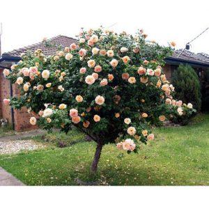 Dac-diem-sinh-thai-cua-hoa-hong-tree-rose
